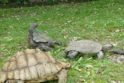 Compassionate Turtle giving up on Bigger Turtle and going to get Bigger Turtle #2