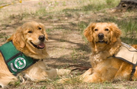 Two golden retriever service dogs rest in the shade while taking a break from their respective jobs. Each dog has a saddle bag on his back, identifying him as a therapy service dog, and both pets are looking at the camera.